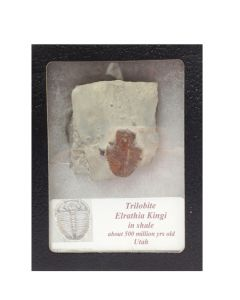 Trilobite Elrathia Kingi in Shale with Glass Display Case